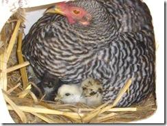 chickens 022