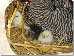 chickens 024